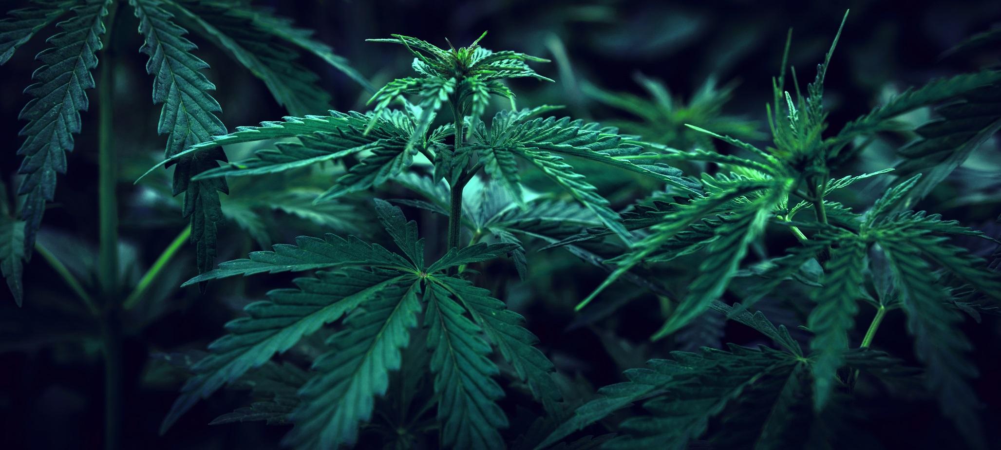 Rechtsanwalt Clemens Louis Kanzlei Louis & Michaelis unerlaubter Anbau von Cannabis